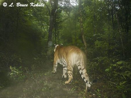 indochinese-tiger-w-collar