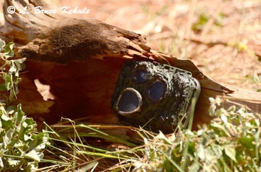 S600/1010/SSII camera trap at leopard tree