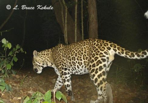 Leopard caught by W55/Otter 2000 in Huai Kha Khaeng