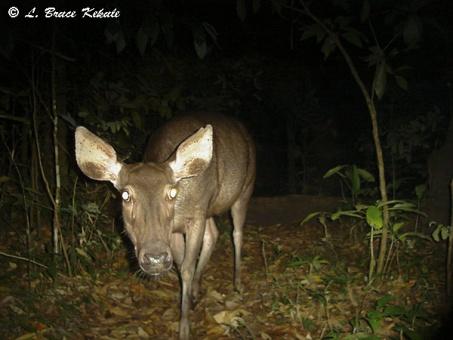 Sambar doe in Huai Kha Khaeng