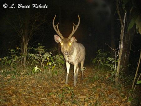 Sambar stag in Subtakong