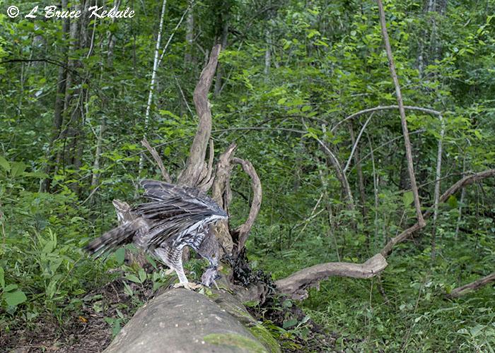 Eagle with prey in HKK