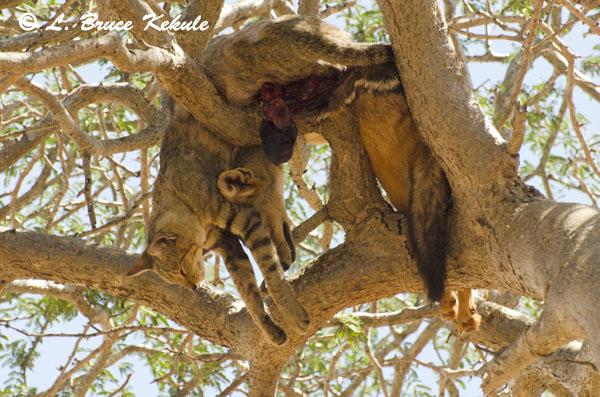 Leopard's prey in a tree in Tsavo East National Park
