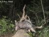 Asian porcupine in HKK