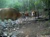 Banteng bull  and herd in Huai Kha Khaeng Wildlife Sanctuary