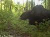 Gaur bull in Huai Kha Khaeng Wildlife Sanctuary