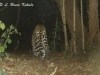 Leopard caught by W55/Otter 2000