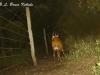 Male bushbuck camera trapped in Kenya