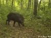 Wild boar in Huai Kha Khaeng