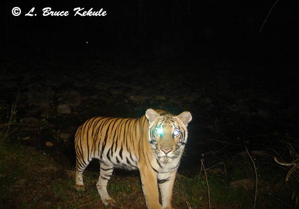 Tiger mother in Subkow mineral lick