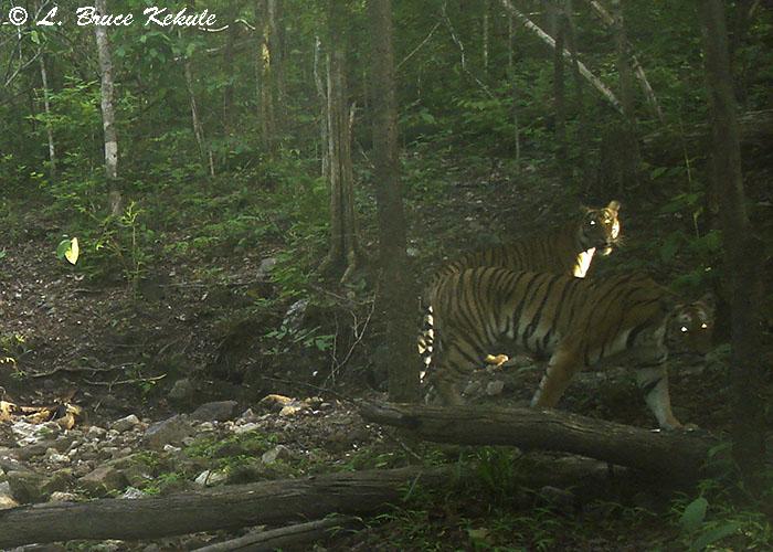 Tigers in Huai Kha Khaeng Wildlife Sanctuary
