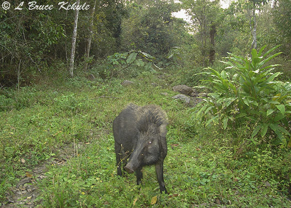 Wild pig in the late afternoon