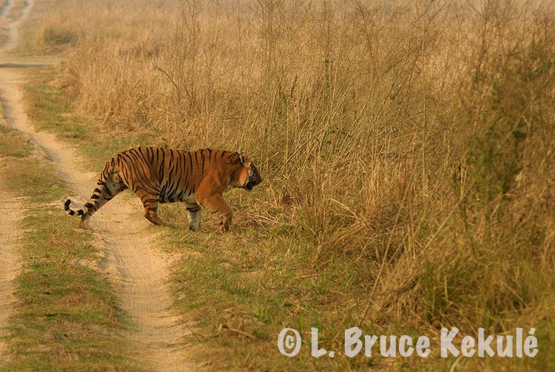 Male tiger Day 1 Corbett copy