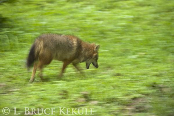 Asiatic jackal in Huai Kha Khaeng