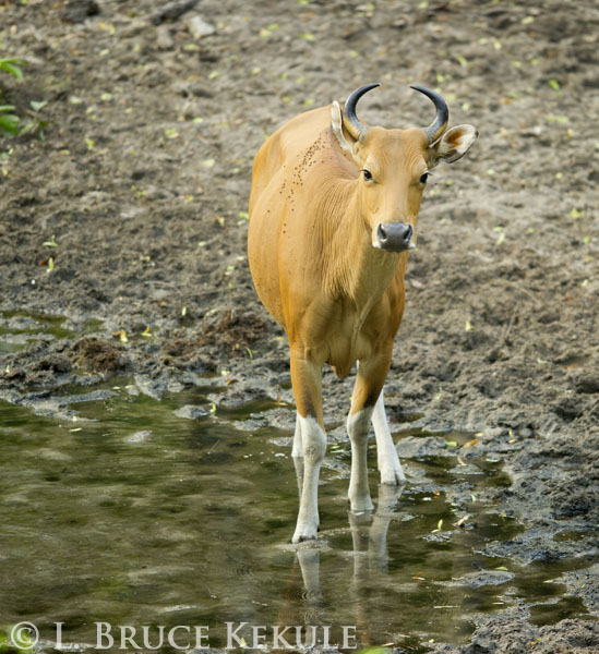 Banteng cow in Huai Kha Khaeng