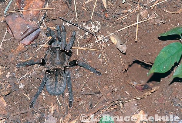 Bird-eating spider in Sai Yok