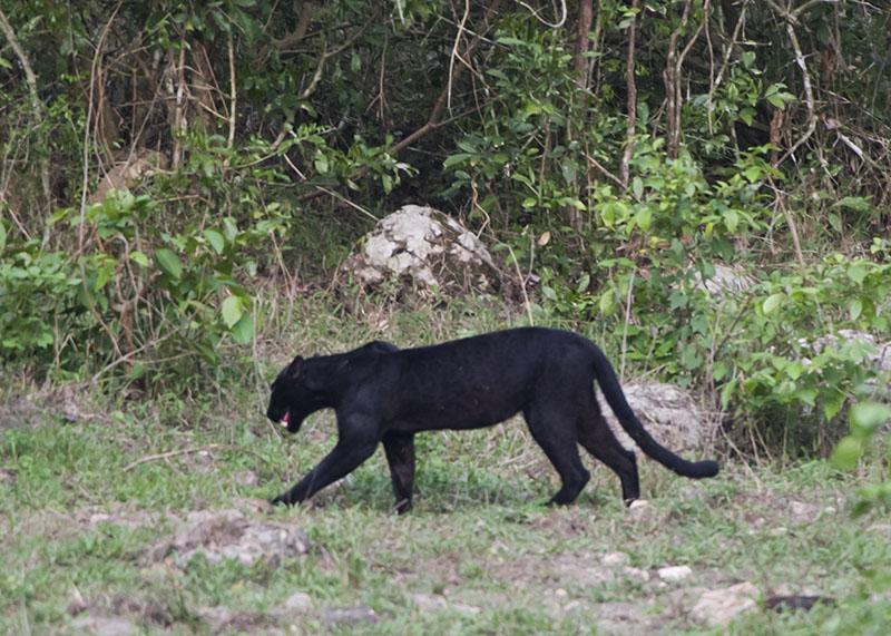 Black leopard at Kabook Kabieng hot springs in Huai Kha Khaeng