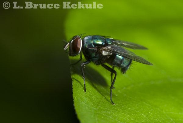 Blow fly in Huai Hin Hills