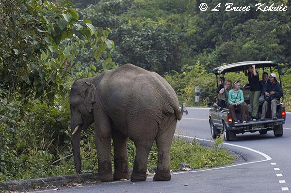 Bull elephant and tourists in Khao Yai NP