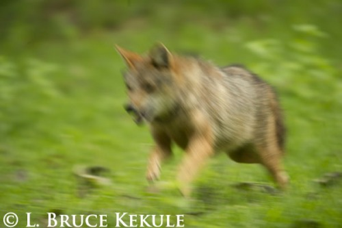 Asiatic jackal on the run in Huai Kha Khaeng