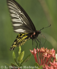 Birdwing butterfly in Lampang