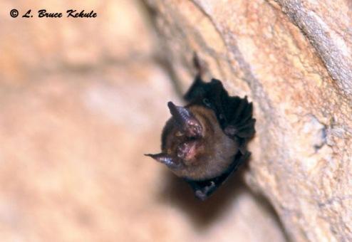 Kitti's hog-nosed bat in Sai Yok