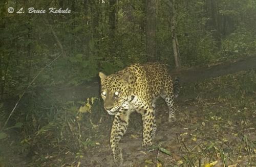 Leopard camera trapped in Sai Yok