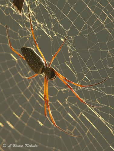 Orb-web spider in Angkor Wat, Cambodia