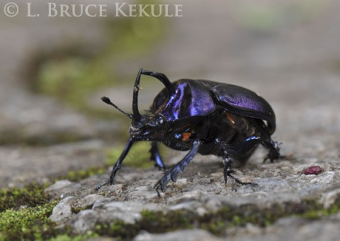 Scarab beetle in Doi Inthanon