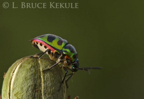 Leaf beetle in Lampoon
