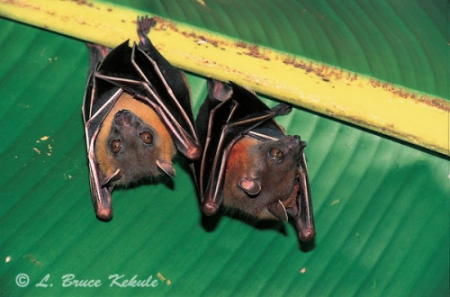 Short-nosed fruit bats in Sai Yok