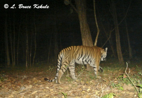 Tiger female in Safapha