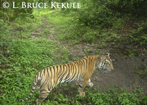 Indochinese tiger camera-trapped in Huai Kha Khaeng