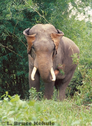 Tusker in Sai Yok National Park