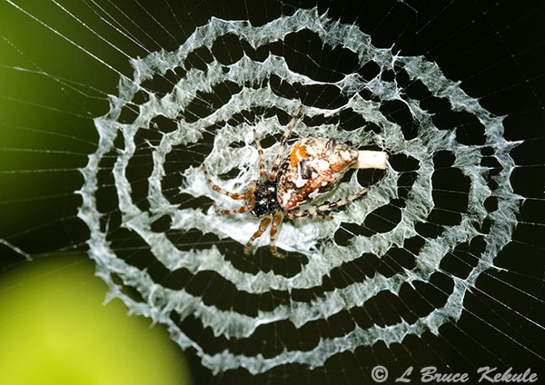 Decoy spider in Chiang Mai