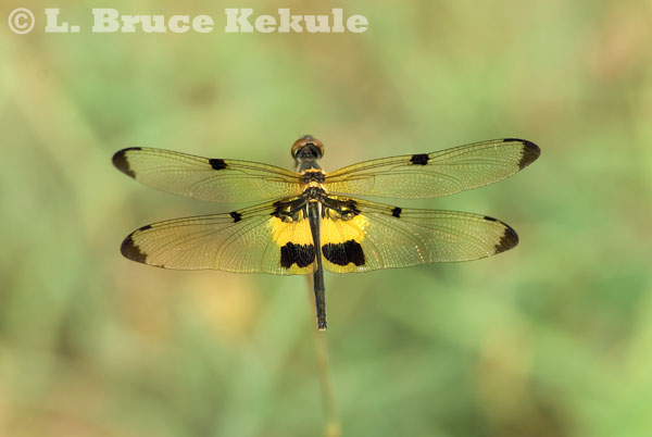 Dragonfly in Suphan Buri