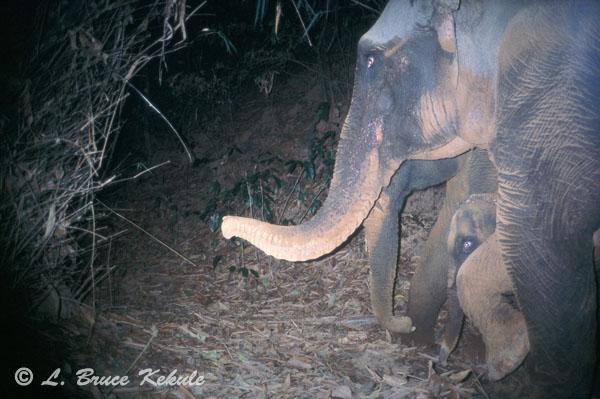 Elephants camera trapped in Sai Yok