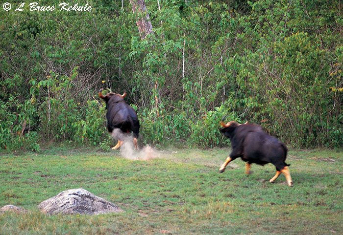 Gaur bulls chasing in Huai Kha Khaeng Wildlife Sanctuary