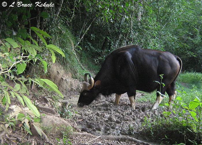Gaur cow in Kaeng Krachan National Park
