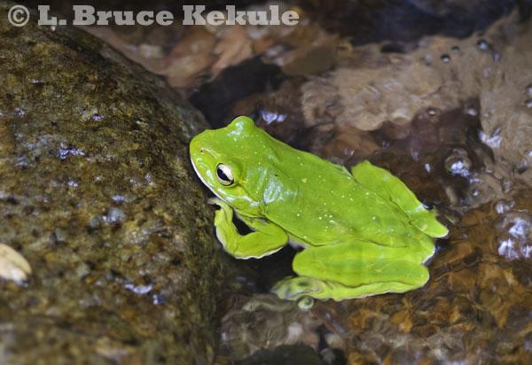 Giant tree frog in Kaeng Krachan