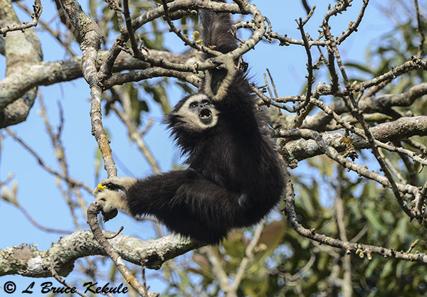 White-handed gibbon in a fig tree