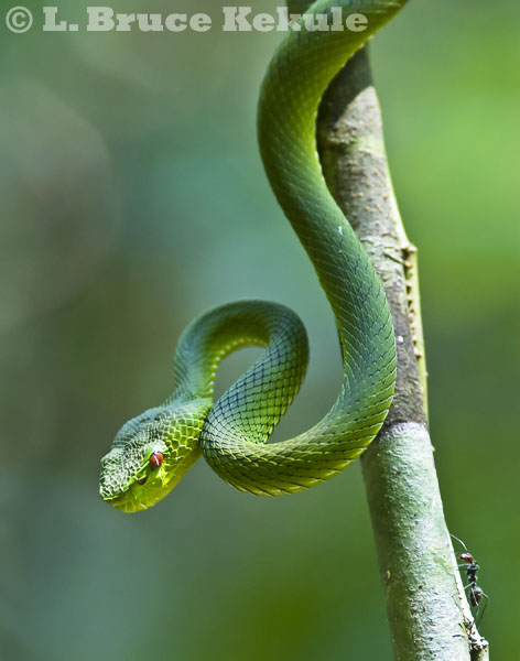 Yellow-bellied pit viper and carpenter ant