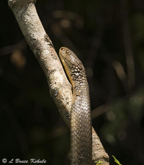 King cobra in Khlong Saeng WS
