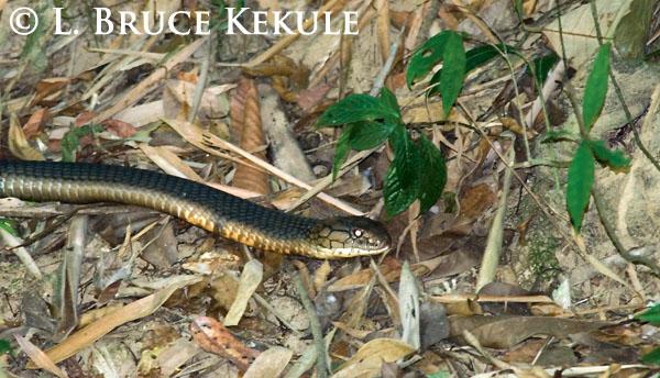 King cobra by the Phetchaburi River