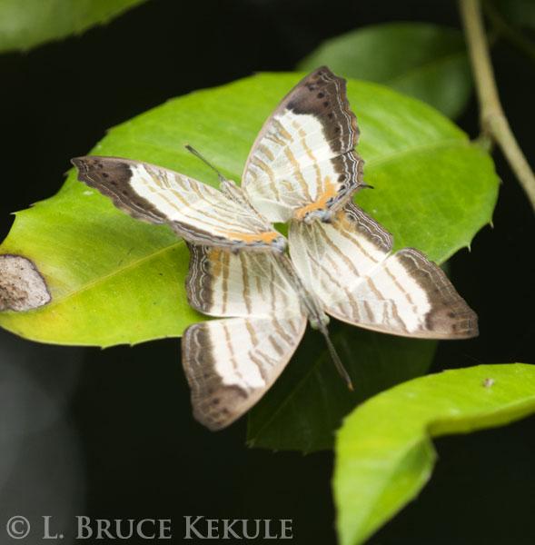 Butterflies mating in Kaeng Krachan