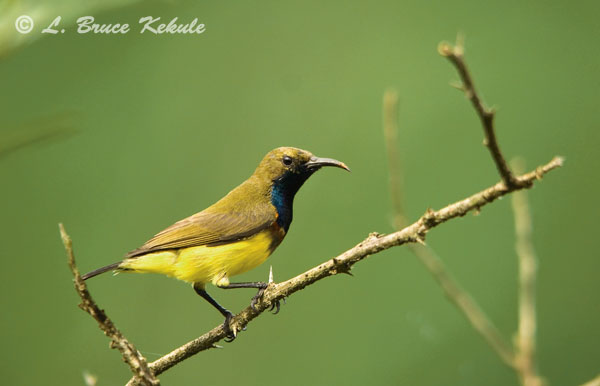 Olive-backed sunbird male in Sai Yok