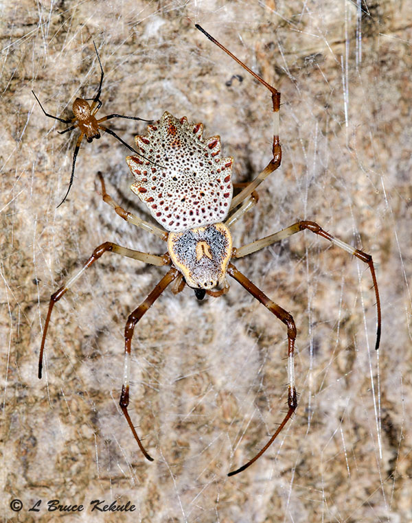 Ornamental spider tree-trunk (male and female) in Lampang