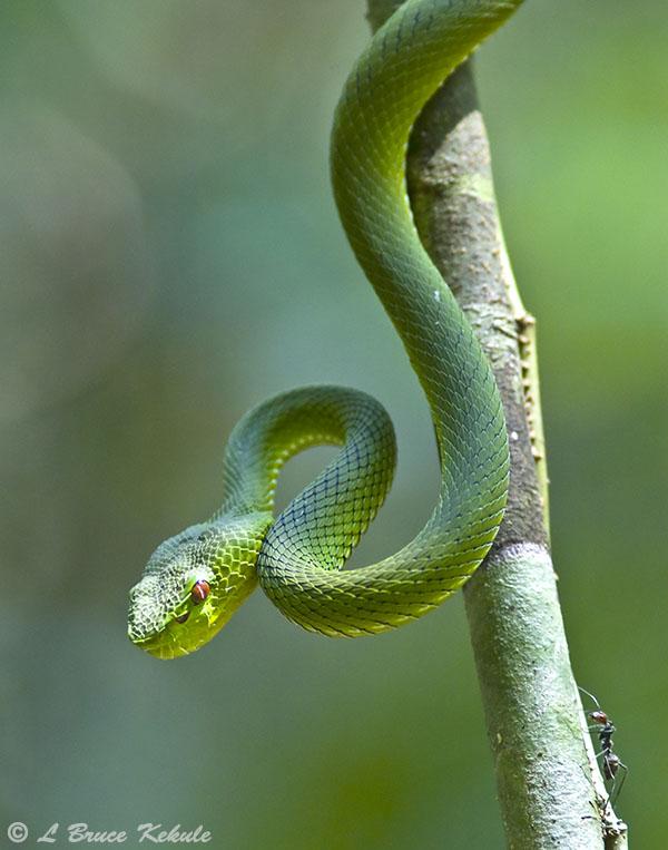 Yellow-bellied pit viper in Kaeng Krachan NP
