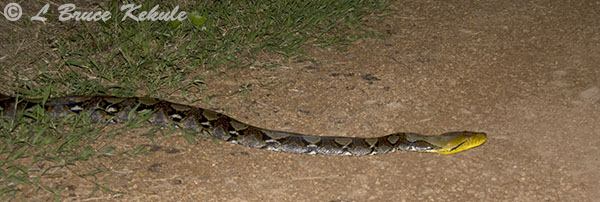 Reticulated python on a road in Kaeng Krachan NP