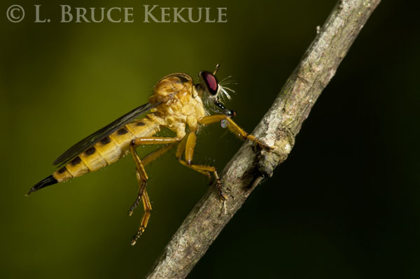 Robber fly with prey in Khao Ang Rue Nai